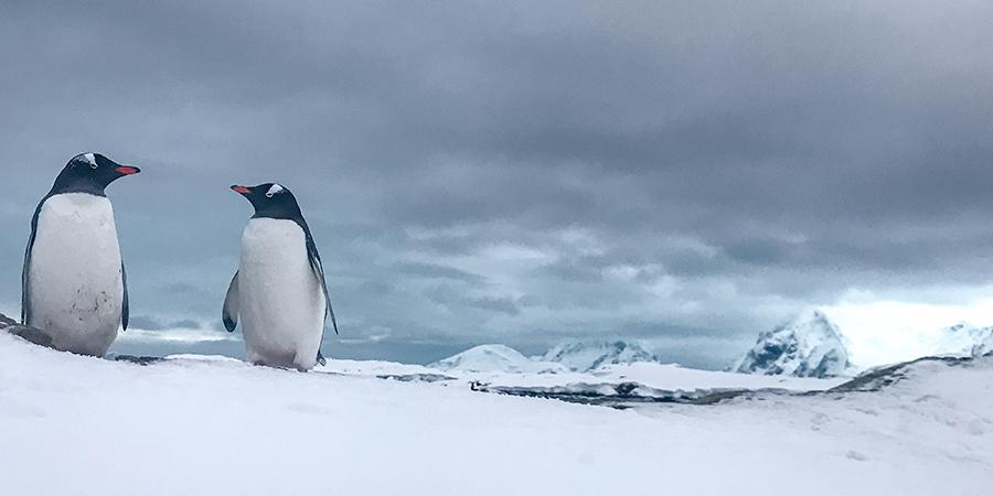 Пінгвіни-шкіпери неподалік від станції