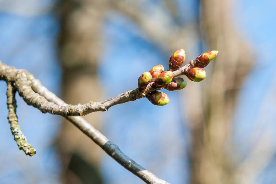 Набухание почек на дереве